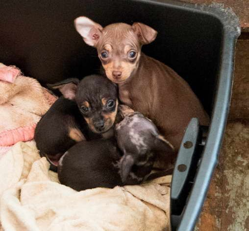 Pin By Peggy Ritz On Chichuahua Chihuahua Puppies Dog Daycare