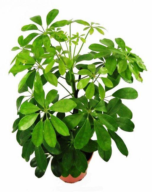 Szeflera Nora Plant Leaves House Plants Plants