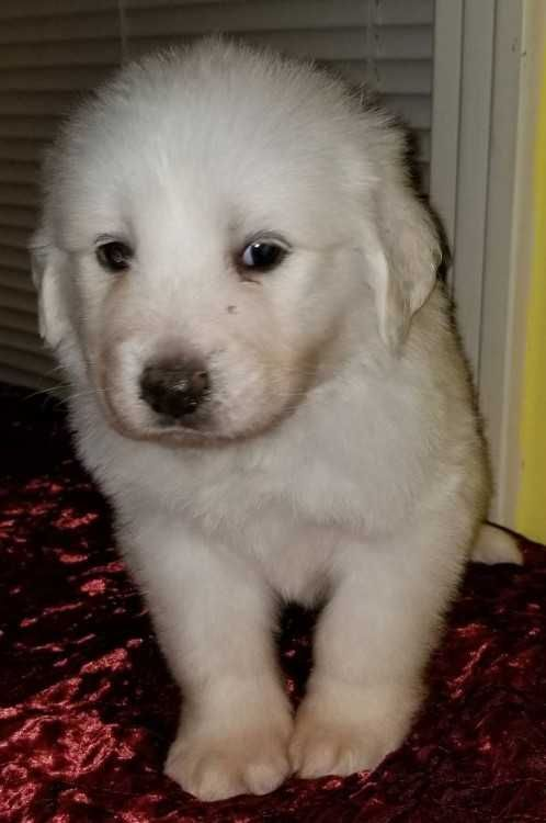 6 Week Old Great Pyrenees Puppies 0d 0aweened And Ready To Go 0d