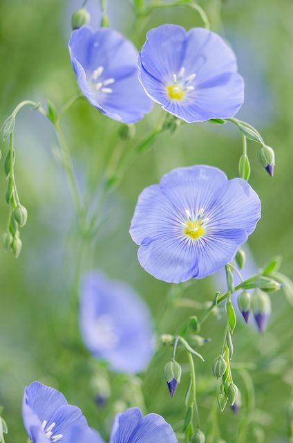 fleurs de lin fleurs pinterest coloration fleur et bleu. Black Bedroom Furniture Sets. Home Design Ideas