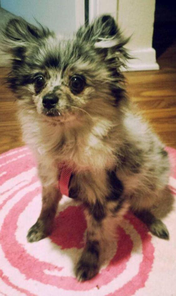 Blue Merle Pomeranian Dog Puppy Dogs Puppies #Azura