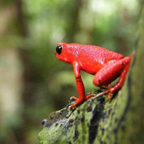 Red poison dart frog in Bocas del Toro, Panama.