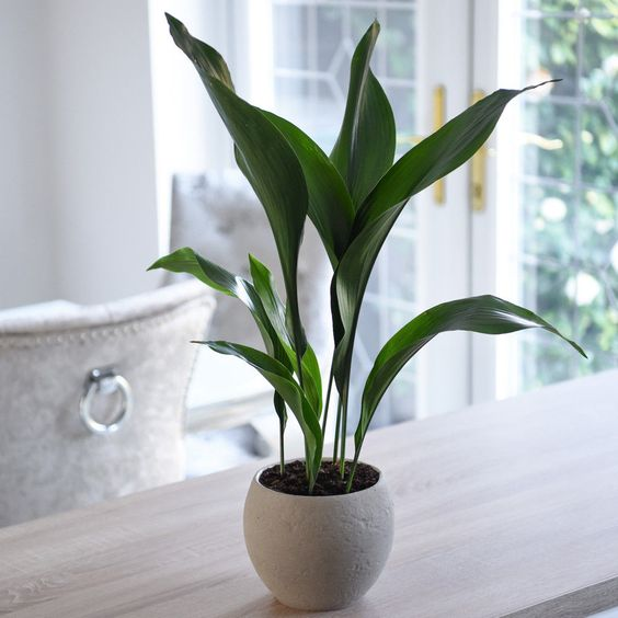 Aspidistra Elatior Indoor Potted House Plant 12cm Pot Cast Iron Plant T&M | eBay
