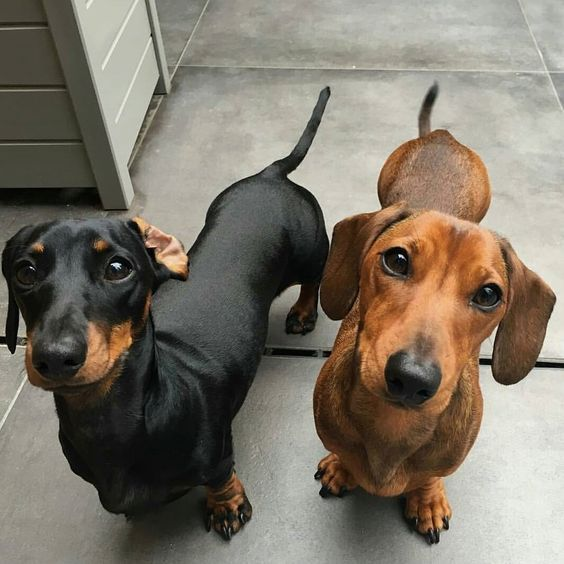 Dachshunds Are Scent Hound Dog Breeds Who Were Bred To Hunt