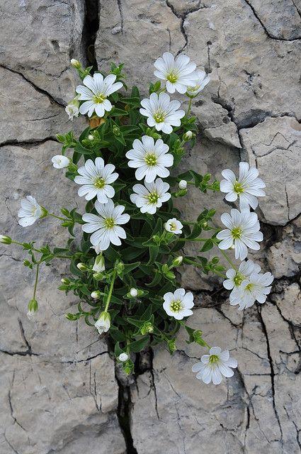 CERASTIUM UNIFLORUM (Peverina a foglia lunga. Einblütiges Hornkraut. Céraiste uniflore. Enocvetna smiljka). Caryophyllaceae