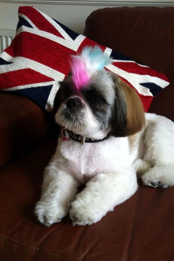 cute mohawk on a shih tzu