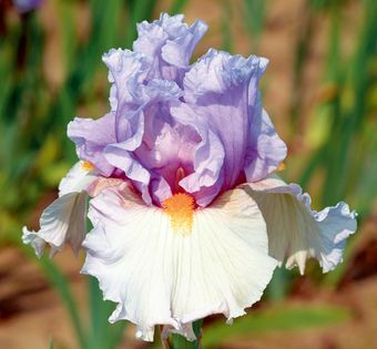 "Belgian Princess |Type: Tall Bearded (TB) Style: Reverse Amoena  Height: 39"" Color: Lavender and Pink  Originator: Johnson, Tom Year: 2005 Bloom Season: Midseason Fragrant: Yes Rebloom: No Awards: HM '07"