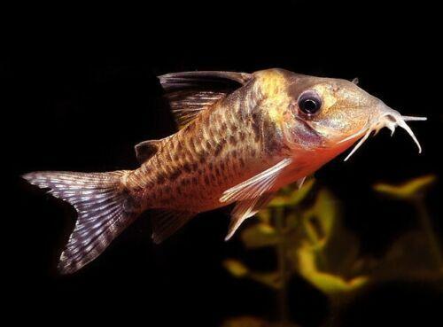 Agassizii Corydoras Catfish Catfish For Sale Cory Catfish Catfish