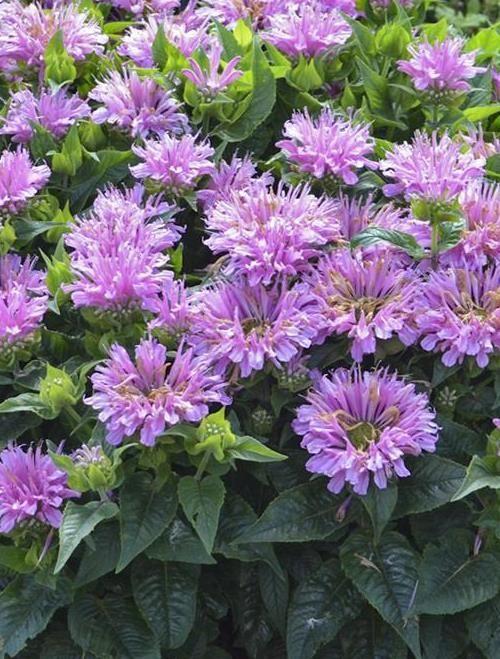 Monardia Didyma Hybrid Pardon My Lavender Planters Patch