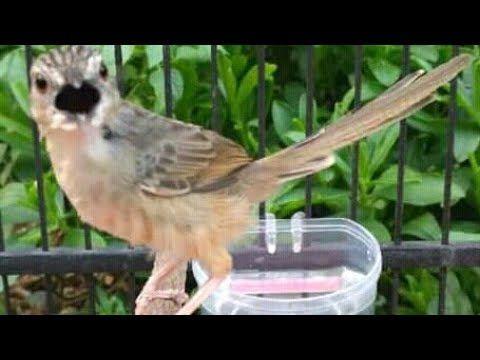 Pin On Macam2 Suara Burung