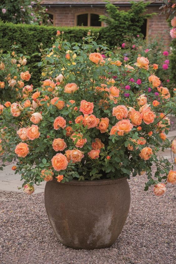 "English article on best container roses - shown: David Austin rose 'Lady of Shalott', ""...One of the most robust and hardy roses in our collection. Highly resistant to disease, blooms with unusual continuity throughout the season. Indeed, it is an ideal rose for the inexperienced gardener."" Has a warm tea fragrance. http://www.burpee.com/perennials/roses/rose-lady-of-shalott-prod003233.html?catId=cat630007&omn2pd=bz or http://www.jacksonandperkins.com/jp-patio-roses/c/JP-Patio-Roses/:"