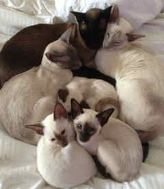 We are Siamese if you please...we are Siamese if you don't please...