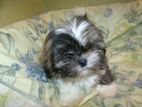 Shih Tzu Puppy For Sale In Paterson Nj Adn 60808 On Puppyfinder