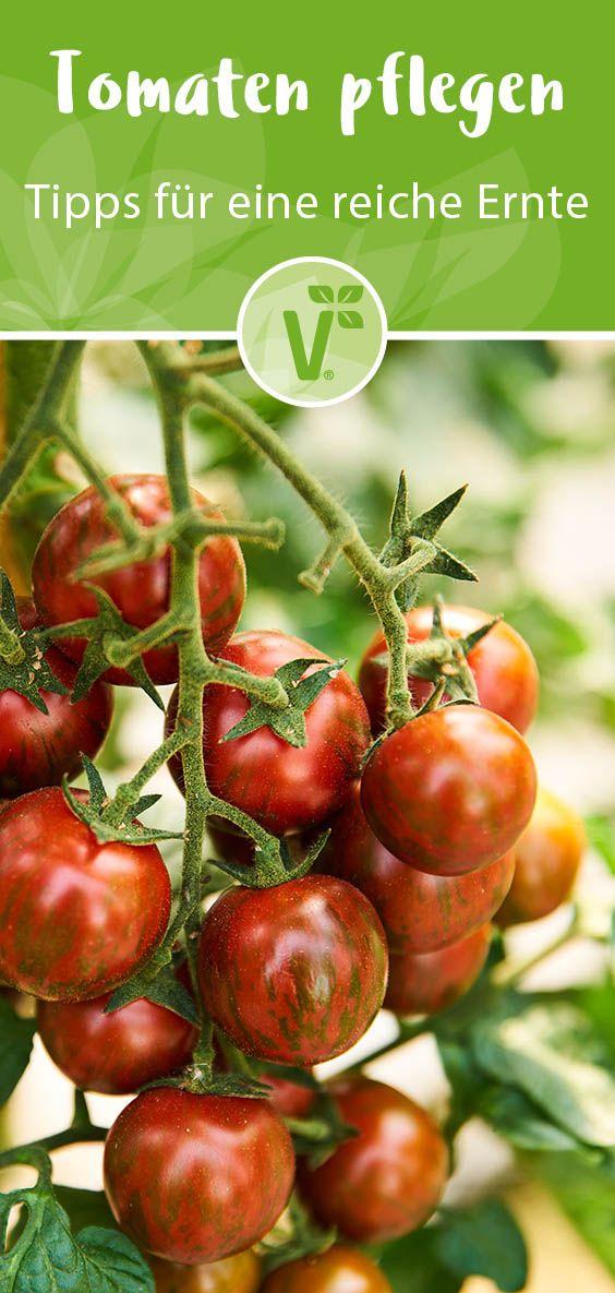 Tomaten Pflegen 3 Tipps Fur Eine Reiche Ernte Plant Happy In 2020 Pflanzen Tomaten Pflanzen Tomaten