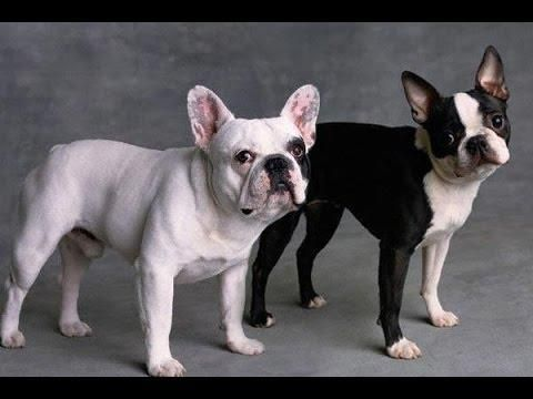 French Bulldog Vs Boston Terrier Difference Similarity And Which