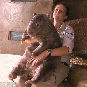 Quite a handful! At 79lbs, Patrick is a lot heavier than the average wombat who weighs somewhere between that figure and 32lbs