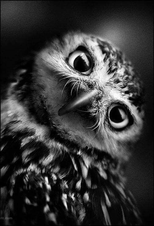 High Contrast Black And White Owl Photography