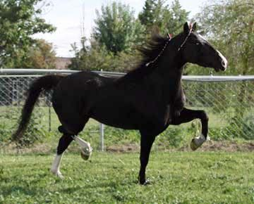 Hackney Horse | ... Barbie - 2009 ASPR & American Hackney Horse Society, DNA'd, black