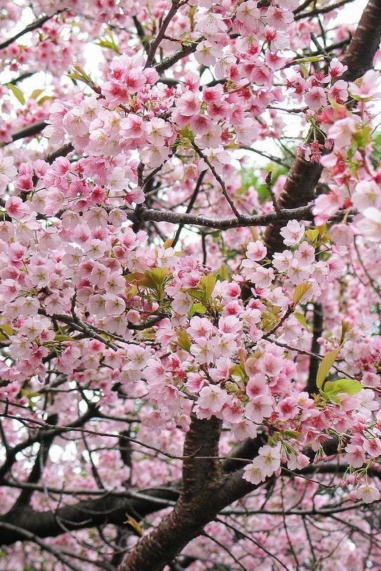 210 Blossom Trees Beautiful Flowers Flowering Trees