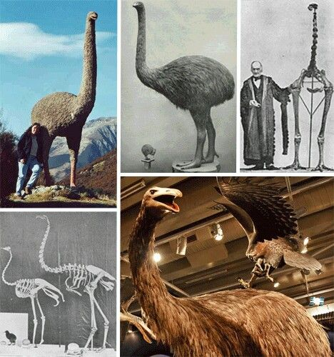 The Moa Were Flightless Birds That Resided In New Zealand As Recently As 1500 Ad Hunted To Extinction By Maori Tribesmen Extinct Animals Animals Wild Dinosaur