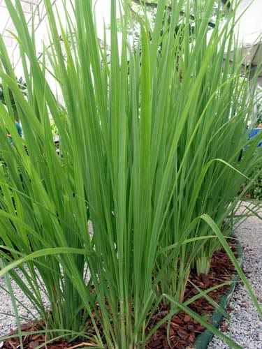 Lemongrass is not a difficult plant to grow and it fits into many different areas of the landscape.  It can be used in beds when several plants are grouped together.  It can also be planted in the herb garden and in containers.  While this plant is not cold hardy, the slender spires do turn red in the fall.: