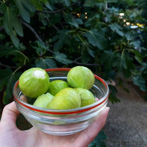 Delicious figs in front of our apartment for a week here in #Krk.  #nomnom #figs #vacation