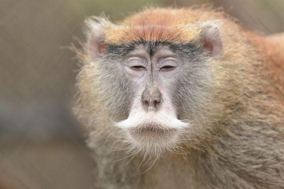Patas Monkey Moment of Zen