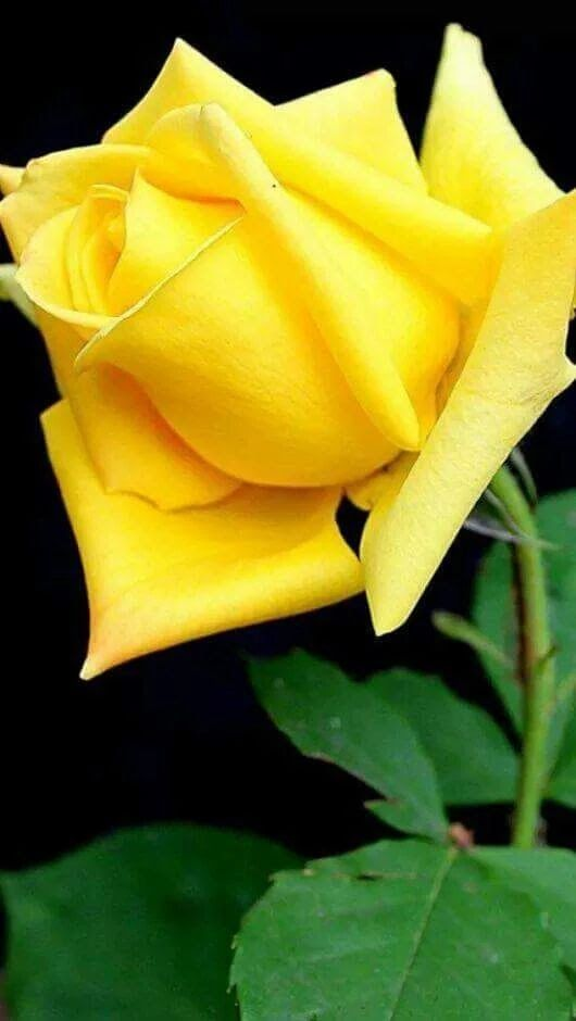 YELLOW ROSE. HERMOSA ROSA AMARILLA.