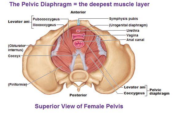 Female Anatomy Model Labeled Female Pelvis Model Label On Anatomy Organ Pictu Reproductive System Female Reproductive System Female Reproductive System Anatomy
