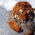 11310739246_tiger-3.jpg