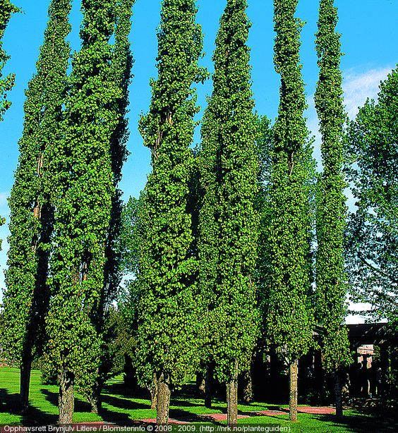 Narrow tree for tight spaces swedish aspen populus for Skinny trees for tight spaces