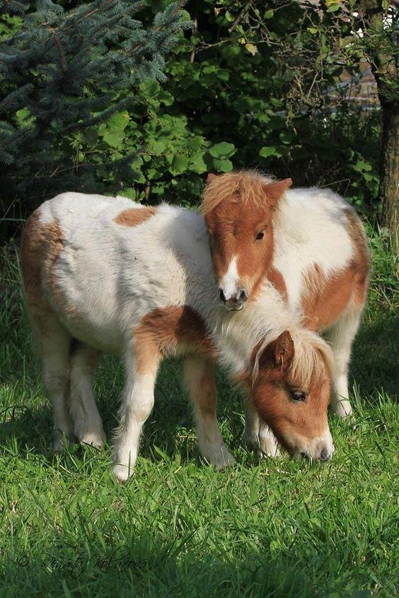 Young mini horses.