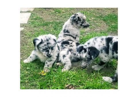 Standard Size Aussie Puppy For Sale 8 Weeks Old In Atlanta