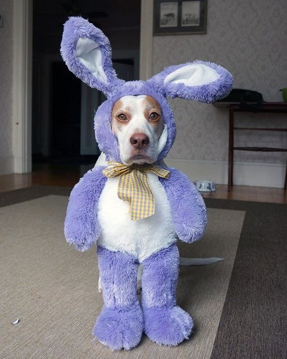 can't wait to steal all the candy from those nimrod humans in my Easter bunny disguise #bunny #maymo #maymoindisguise