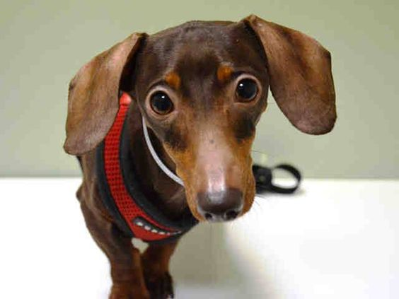 Manhattan Center LUCY - A1027509 SPAYED FEMALE, BROWN, DACHSHUND MIX, 5 yrs OWNER SUR - EVALUATE, NO HOLD Reason LLORDPRIVA Intake condition EXAM REQ Intake Date 02/08/2015 +++++++++++CAME IN WITH: CHLOE - A1027510+++++++++++ https://www.facebook.com/photo.php?fbid=958673327478880