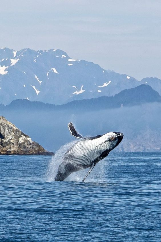 A whale plays around in the waters of Kenai Fjords National Park, one of the best destinations for wildlife watching in Alaska. #adventure #photography #nature #wildlife