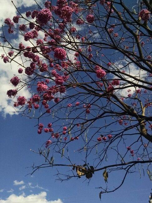 Pe de Ipe rosa _ uma das belezas de Goiania - Go