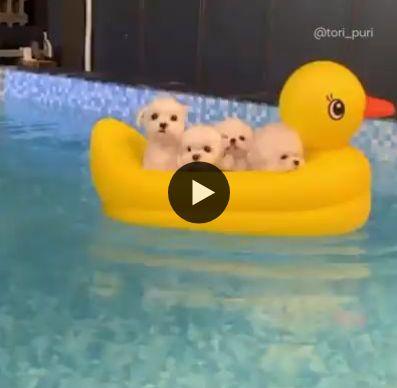os cachorrinhos nadando na boia