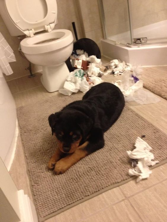 Chevy has been naughty - Rottweiler puppy