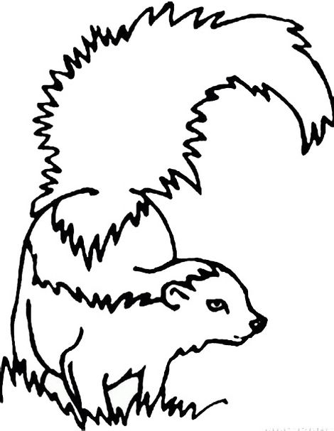 Realistic Skunk Coloring Page Forest Coloring Pages Coloring Pages Skunk Drawing