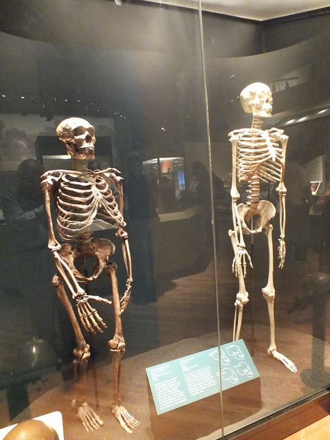 A comparison can be made between these two human species as Neanderthal and modern human skeletons stand side by side in Evolving Planet exhibit @Field Denny Museum of Natural History, Chicago IL 9-2-2012   by clkayleib, via Flickr