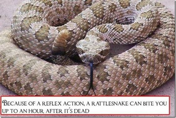Because of a reflex action, a rattlesnake can bite you up to an hour after it's dead