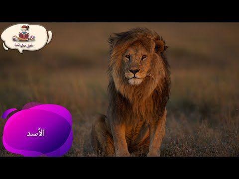 معلومات عن حيوان الاسد للاطفال راويتي تروي قصة Youtube Animals Lion