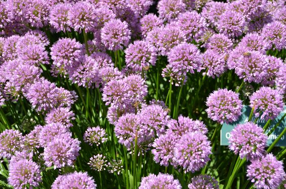 Allium 'Millenium' Ornamental Onion on the Cleaver Event Lawn at Coastal Maine Botanical Gardens.