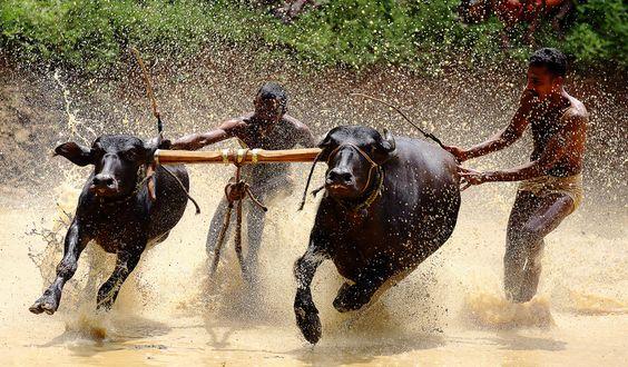 Cattle Festival Kambala