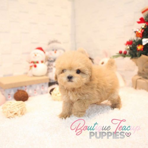 Poodle Puppies For Sale Micro Tiny Poodle Puppies White Teacup Poodles Boutique Teacup Puppies Poodle Puppies For Sale Poodle Puppy Puppies For Sale