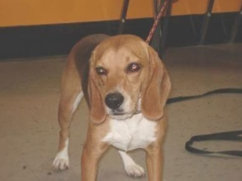 42598293 Available 9 5 Adoptable Dog Adult Male Beagle Mix Dog Adoption Adoptable Beagle Pets