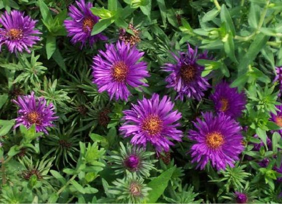 Purple Dome New England Aster Flower Provides Color And Etsy In 2020 Fall Perennials Perennials Purple Perennials