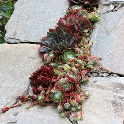 Plantes vivaces pour rocailles massifs et bordures for Catalogue plantes jardin