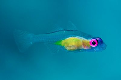 Pink eye goby you can see right through it stunning for Pink saltwater fish